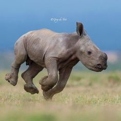 Guys, today we heard the very very sad news that the last male Nothern White Rhino in the entire world has died. There are no more males… Pictured above is a young Southern White Rhino running playfully. Cute Baby Animals, Animals And Pets, Funny Animals, Beautiful Creatures, Animals Beautiful, Wildlife Tattoo, Baby Rhino, Young Animal, Wale