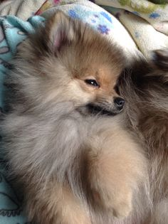 The traits we all adore about the Pomeranian More About Cute Pomeranian Dogs Spitz Pomeranian, Cute Pomeranian, Pomeranians, Baby Puppies, Cute Puppies, Dogs And Puppies, Beautiful Dogs, Animals Beautiful, Basic Dog Training