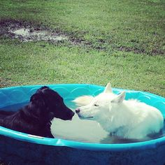 Kisses at the dog pool! - Cooper Dog Park - Bartlesville, OK - Angus Off Leash #dogs #puppies #cutedogs #bigdogs #angusoffleash #dogparks