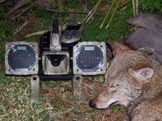 Killing Coyotes 101 - Daytime and Night Hunting Problem Coyotes