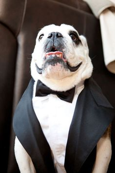 Bulldog On His Owners Wedding Day