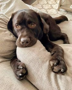 """Labrador retrievers, or """"Labs"""" as they've become fondly known, are one of the most popular dog breeds of our time. Cute Dogs And Puppies, I Love Dogs, Doggies, Cute Baby Animals, Funny Animals, Animals Dog, Chocolate Lab Puppies, Labrador Chocolate, Labrador Retriever"""