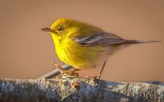 """""""Pine Warbler at Sunset"""" by JamesBitrick 