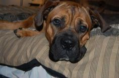 MAX is an adoptable Bullmastiff Dog in Charlotte, NC. Max is a 2 Yr old Bull Mastiff. Still looks and acts like a puppy. He loves to lay in your lap. And go for walks. He knows how to sit , down., wor...
