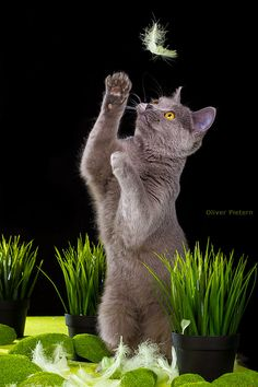 Russian Blue Cats Kittens Where is the birdie ? Blue Cats, Grey Cats, Chartreux Cat, Grey Kitten, Cat Pose, Kinds Of Cats, Russian Blue, Cat Boarding, Cat Art
