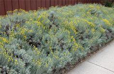 Plant photo of: Santolina chamaecyparissus
