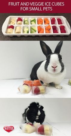 rabbit toy DIY treat - freeze your guinea pigs or bunnys favorite fruit or veggie treat into ice cubes and give them as treats. This helps them cool down on summer days. Remember to always check with your vet before introducing human food to your pets. Guinea Pig Food, Pet Guinea Pigs, Guinea Pig Care, Diy Guinea Pig Toys, Diy Bunny Toys, Diy Rodent Toys, Cat Toys, Diy Rat Toys, Diy Hamster Toys