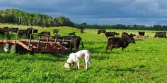 guard dog with cattle