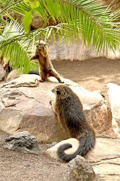 TE PRESENTAMOS al Binturong o Gato Oso    WE INTRODUCE YOU the Binturong or Bearcat