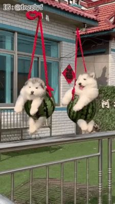 Alaska likes to play Source by dog dog memes dog videos videos wallpaper dog memes dog quotes dogs dogs pictures dogs videos puppies puppy video Cute Little Animals, Cute Funny Animals, Cute Cats, Funny Animal Memes, Funny Animal Pictures, Funny Humor, Funny Gifs, Funniest Gifs, Dog Memes