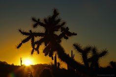 Silhouette of cholla cactus at sunrise, north of Phoenix, AZ.