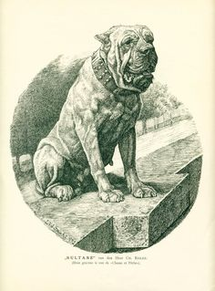 """The breed is commonly referred to as the """"Mastiff"""". Also known as the English Mastiff this giant dog breed gets known for its splendid, good natu Mastiff Breeds, Mastiff Puppies, Giant Dog Breeds, Giant Dogs, Antique Dog Prints, British Mastiff, Fierce Animals, War Dogs, Vintage Dog"""
