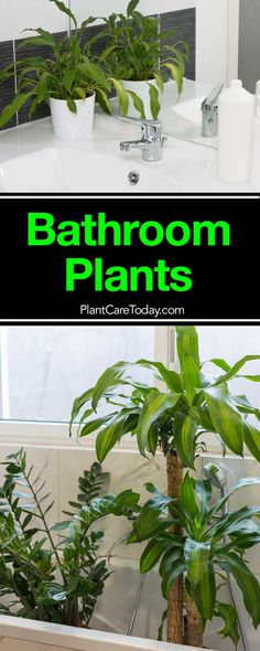 Bathroom plants can brighten up even a dark, windowless, low light bathroom. Find out which houseplants, upright, color and how to use them [LEARN MORE]