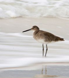Wader on the shore