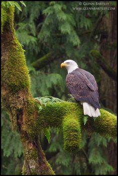 Bald Eagle by Glenn Bartley Nature Photography
