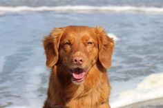 Nova Scotia Duck Tolling Retriever Mellow. Copyright: Van Geerdersbeek Photography