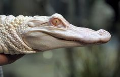 An extremely rare albino alligator from the swamps of Louisiana is taking up residence in Washington, dazzling visitors with her brilliant white skin...