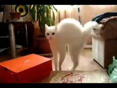 """I call this cat """"strutting""""...freaking hilarious. Matt and I love to freak out Juju to make her do this."""