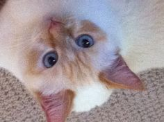 My Flame Point Siamese