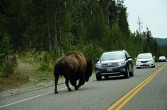 Bison v's car, Yellowstone National Park, USA