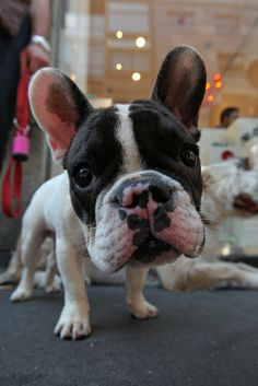 Lean in to the camera ... French bulldog (by br1dotcom, via Flickr)