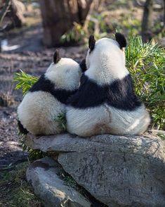 Panda snuggle adorable show ! Niedlicher Panda, Panda Bebe, Panda Art, Cute Panda, Cute Baby Animals, Animals And Pets, Wild Animals, Beautiful Creatures, Animals Beautiful