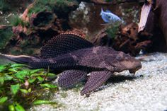 Plecos are the go-to algae eaters for many hobbyists, but some species require huge setups to thrive. An expert hobbyist discusses these large catfish and provides excellent care advice so they can live in your tank for years to come.
