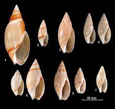 Family Olividae 1. Ancillista velesiana 2. Amalda edithae 3. Amalda festiva 4. Amalda petterdi 5. Amalda marginata 6. Amalda oblonga 7. Amalda rubrofasciata