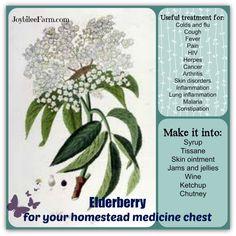 Elderberry for your homestead medicine chest
