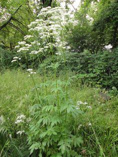 Galasearch - Suchseite für Pflanzen - Gartenarchitektur - Echter Baldrian (Valeriana officinalis)