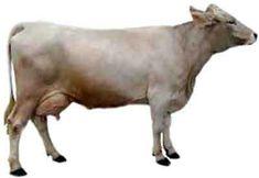 Kostroma Cattle