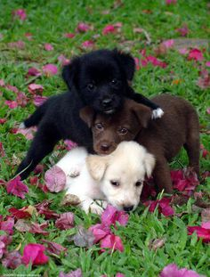 Black, white and brown puppies playing together