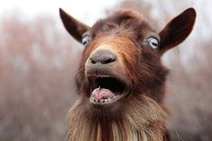 goat face - Google-Suche