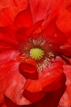 Red Poppy photo by Elen Harvalias — #flower. Brought to you by SunGoddess Magazine: Igniting the Powerful Goddess WIthin http://sungoddessmagazine.com