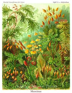 Art Nouveau Natural History Scientific Illustration Plate 72 Moss & Wildflowers 8 x 10 Art Print By Ernst Haeckel