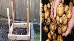 Geniální trik od zahradníka – způsob jak vypěstovat 50 kg brambor na metru čtverečním! | Vychytávkov