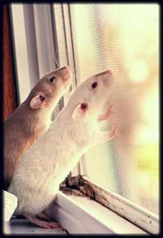 Rats are so sweet & such great pets!  Amen!