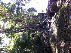 Tree in Costa Rica