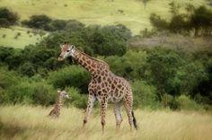giraffe and juvenile