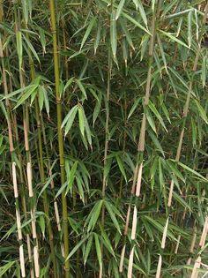 'Fargesia Rufa' bamboe. Winterharde bamboe met opgaande groeiwijze niet woekerend, zon of halfschaduw, vochtige humeuse. 200/300 cm