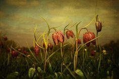 Fritillaries 2013 | by AJGosling