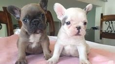 How to Make a French Bulldog Cake - Laura Loukaides French Bulldog Prices, French Bulldog Breed, Cute French Bulldog, French Bulldogs, Toy Bulldog, Bulldog Puppies For Sale, Dogs And Puppies, Bulldog Cake, Cute Puppy Videos