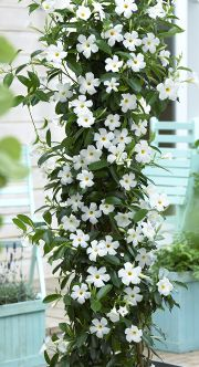 While once restricted to the porch or patio, planters have extended their reach. The popularity of container landscaping is growing as people realize the flexibility this attractive design can provide. If you are looking to revamp your yard, exploring. Clematis Trellis, White Clematis, Phlox Flowers, Planting Flowers, Mandevilla Vine, Garden Renovation Ideas, Sun Parasol, Famous Gardens, Climbing Vines