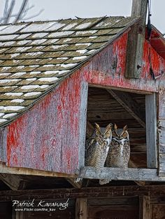 Great Horned Owl Pair in a barn Owl Bird, Pet Birds, Rapace Diurne, Country Barns, Country Life, Country Living, Country Strong, Country Roads, Great Horned Owl