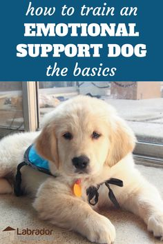 How to train an emotional support dog the basics - Golden Retriever puppy in down position on the floor wearing light blue vest. Therapy Dog Training, Service Dog Training, Puppy Training Tips, Therapy Dogs, Service Dogs, Training Your Dog, Training Classes, Training Collar, Crate Training