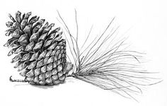 a study of a pine cone drawn in graphite pencil by artist Linda Weil Pinecone Tattoo, Pine Tattoo, Botanical Drawings, Botanical Illustration, Pine Cone Drawing, Kiefer Tattoo, Pencil Drawings, Art Drawings, Types Of Drawing