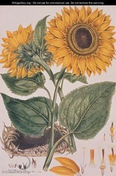 Helianthus annus Sunflower illustration for an English translation of a botanical treatise by Carolus Linnaeus 1707-78 1777 from the Plate C...