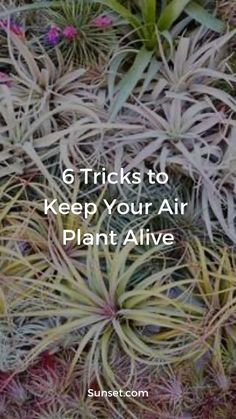 Care for Air Plants: 6 Tricks to Keep Them Alive - Sunset Magazine Types Of Air Plants, Air Plants Care, Plant Care, Garden Cactus, Garden Plants, House Plants, Hanging Plants, Indoor Plants, Mother Of Thousands Plant