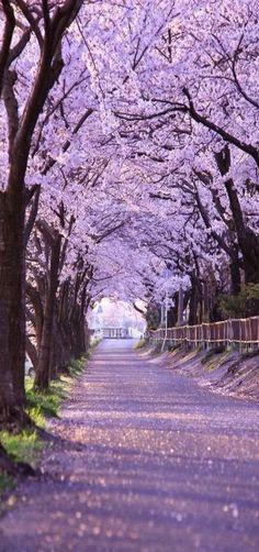 Path, Cherry Blossom