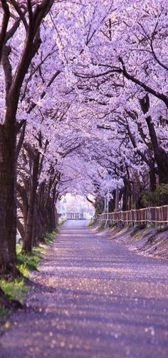 Cherry blossoms tunnel, Kyoto, Japan